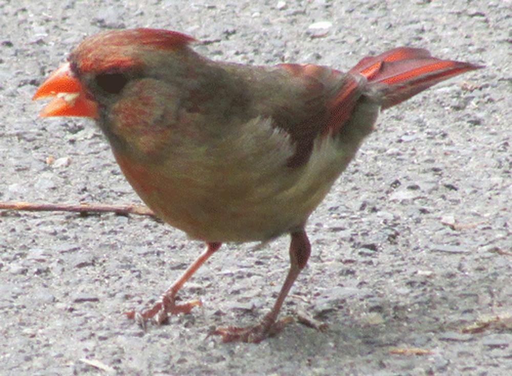 Cardinal2 1500.jpg