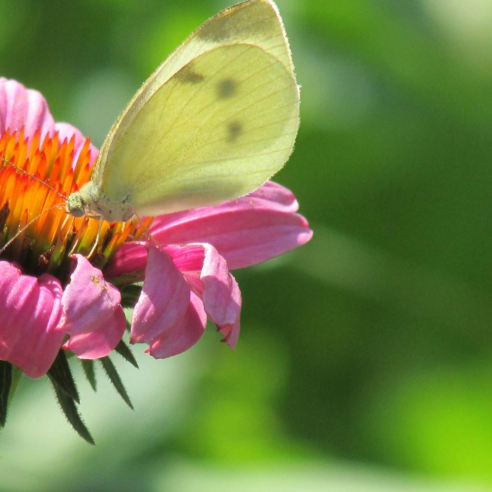 Butterfly CP 1500 7-26-2013 082.jpg