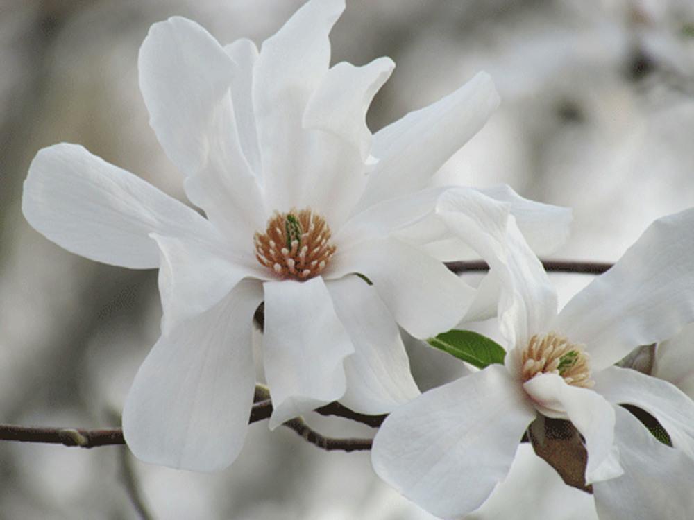 Magnolias 1500.jpg