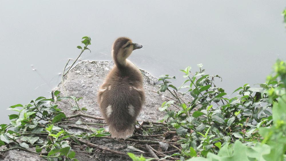 Duckling 1500.jpg