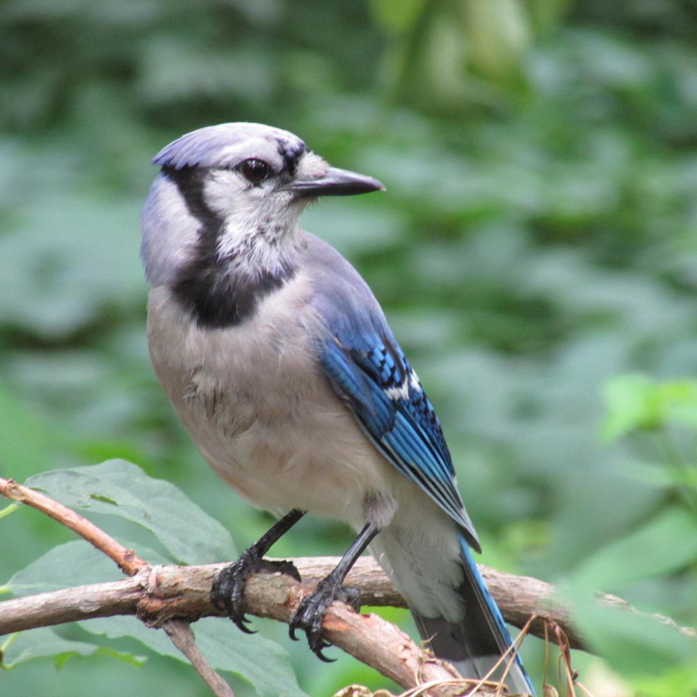 Blue Jayu 1500 7-4-2013 059.jpg