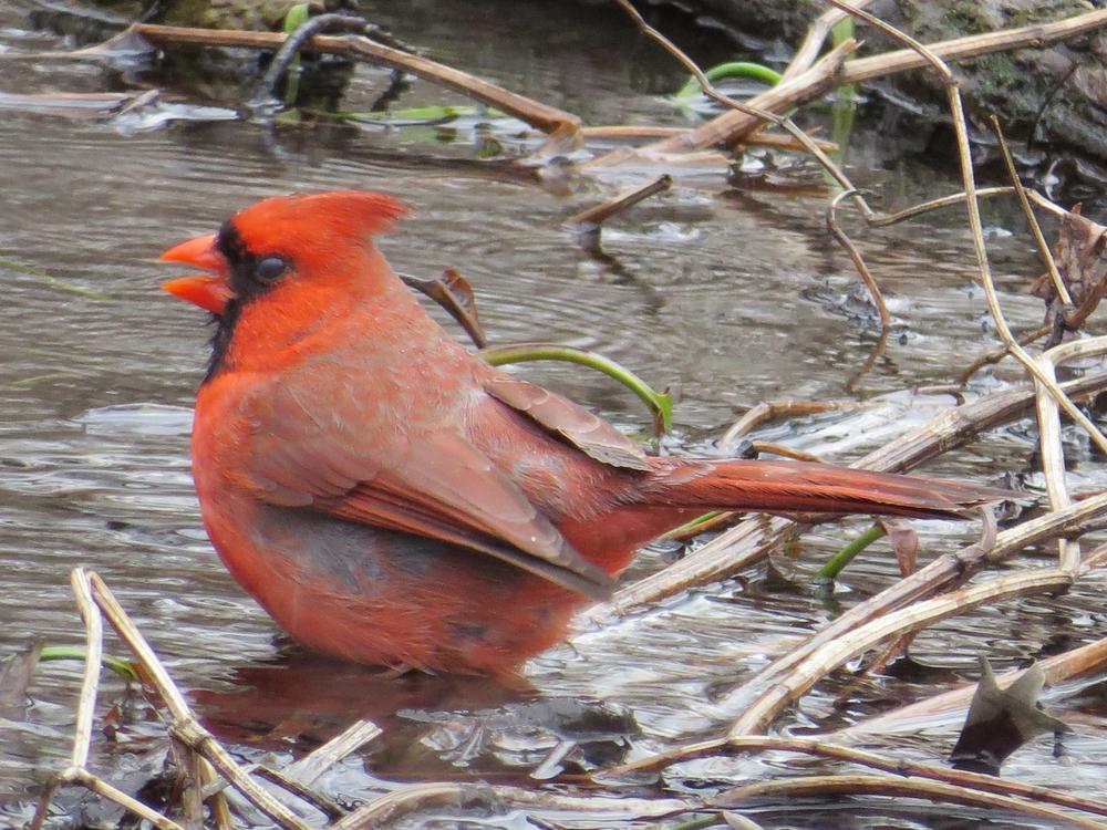Cardinal 2-9-2016 060.jpg