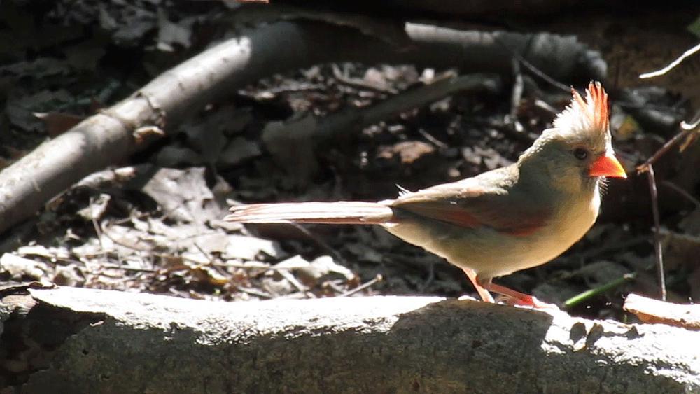 Cardinal 1000 2013.jpg