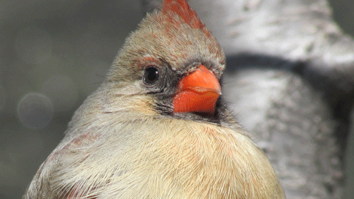 Cardinal 500 2013.jpg