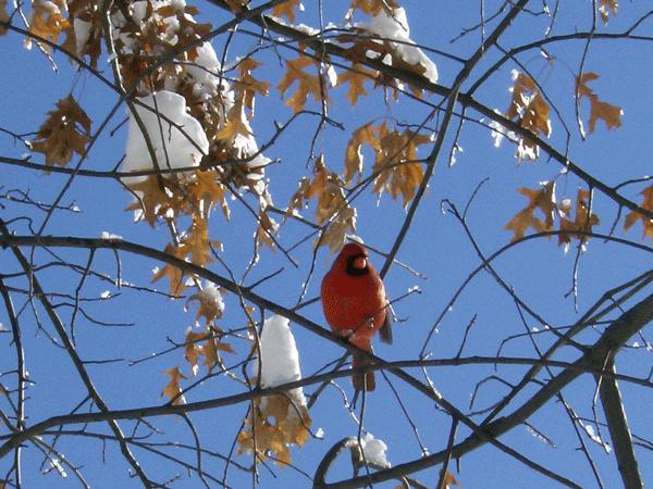 Cardinal 2-10-2016 600.jpg