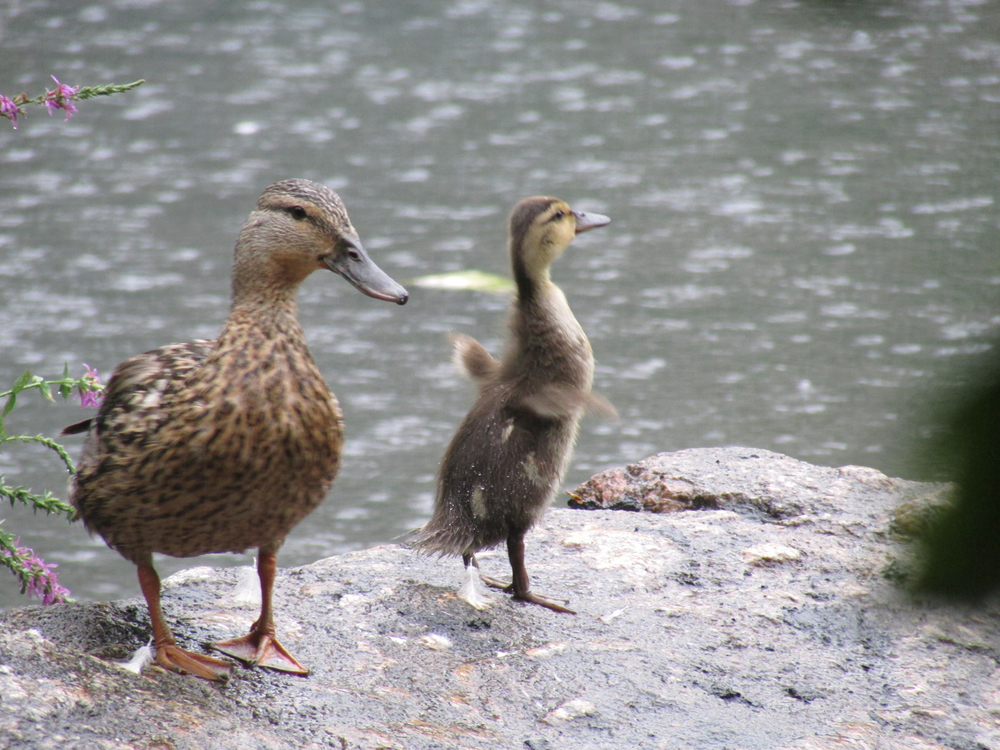 8-1-2013 ducklings 1500 42.jpg