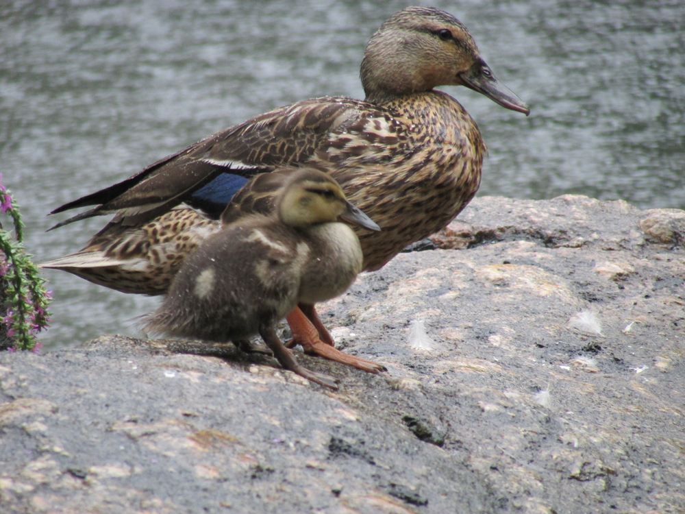 1500 8-1-2013 ducklings 038.jpg