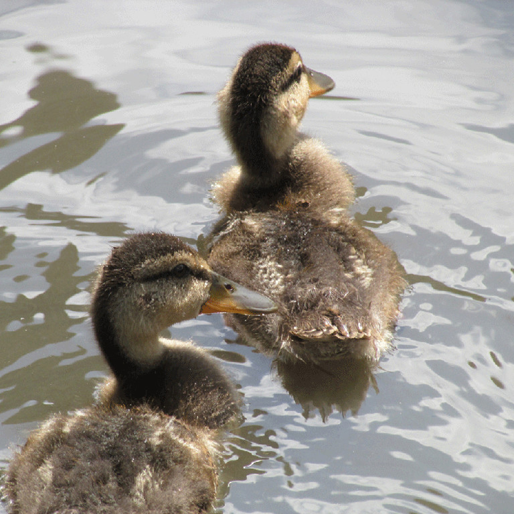 Ducklings5 1500.jpg
