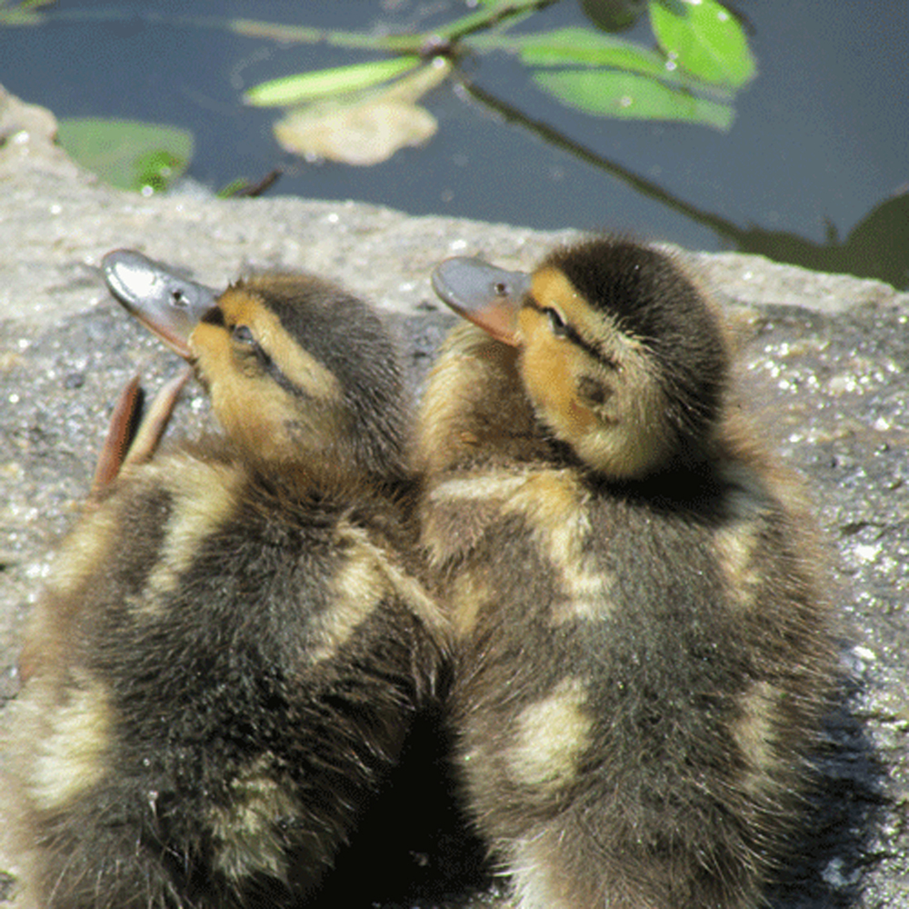 Ducklings2 500.jpg