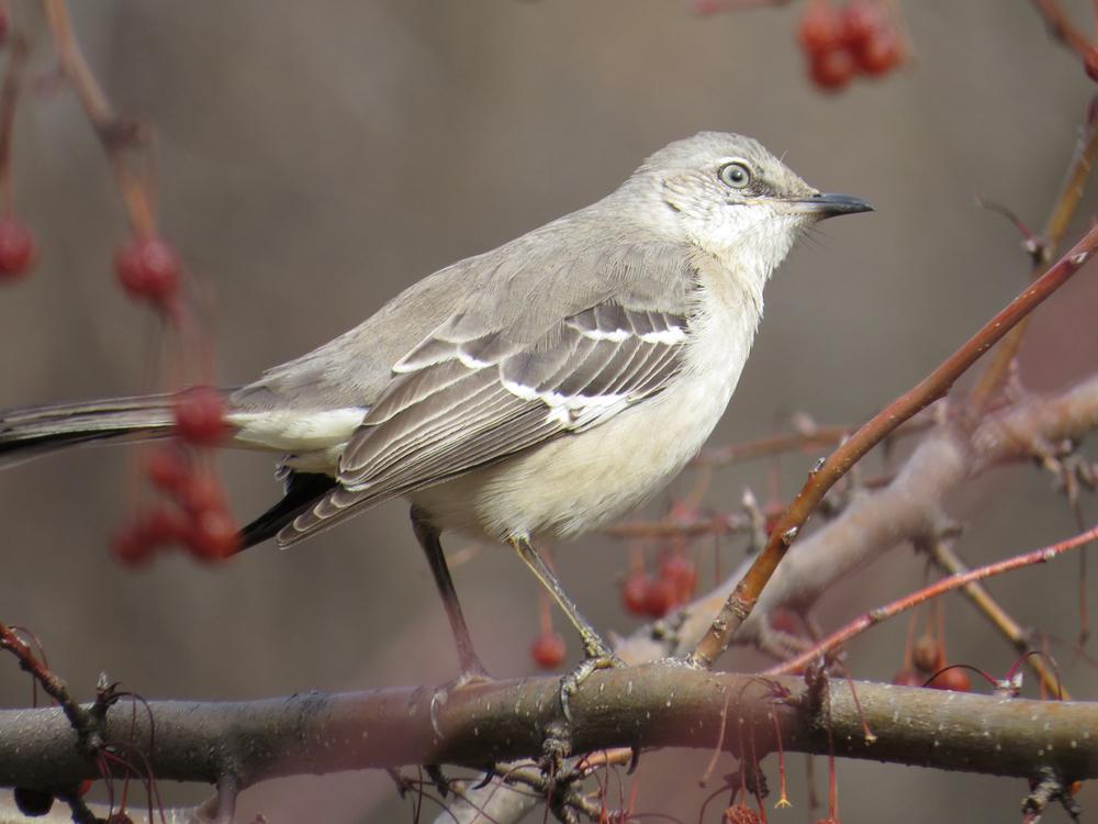 Mockingbird 1500 2-20-2016 022 Web.jpg