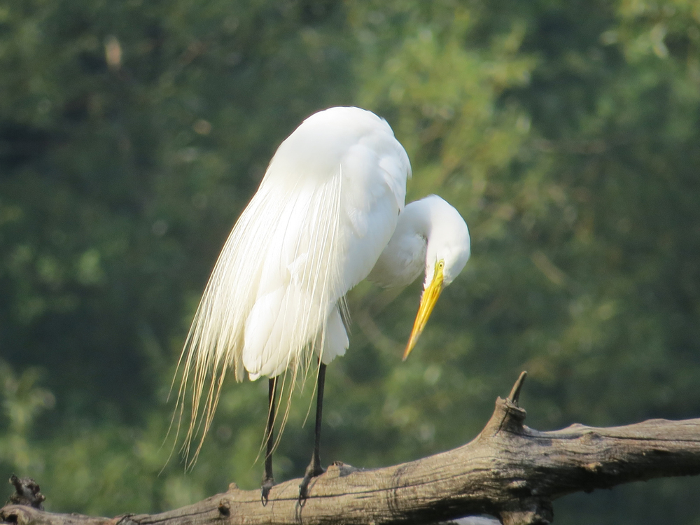Great Egret 1500 7-1-2015 129.jpg