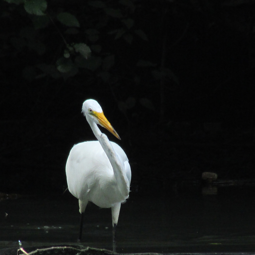 Great Egret 1500 245.jpg