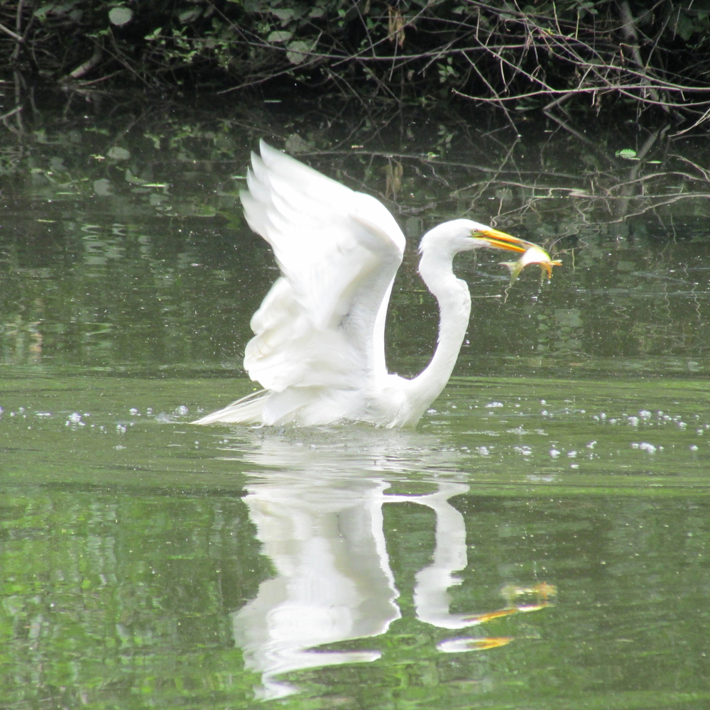 Great Egret 1500 033.jpg