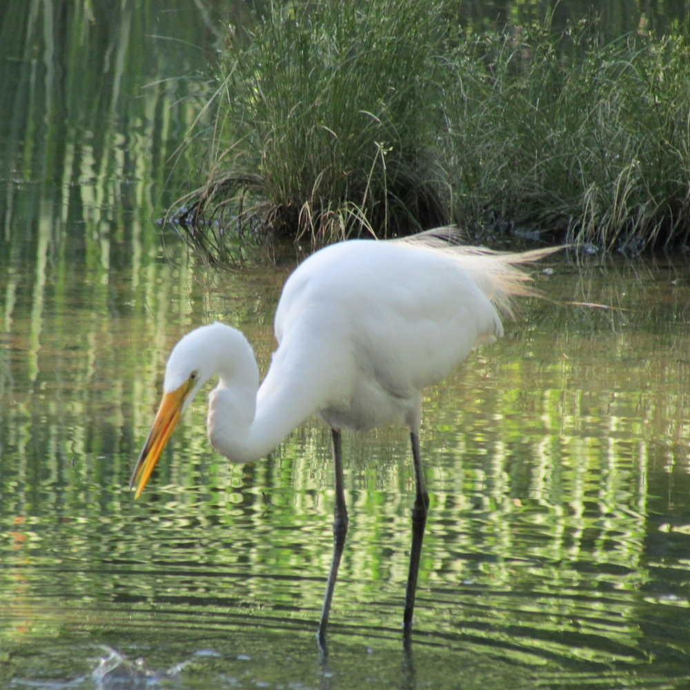 Great Egret 1500 097.jpg