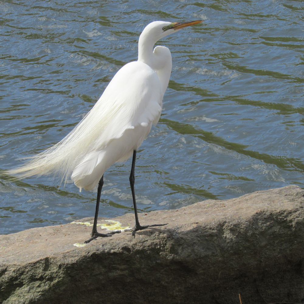 Great Egret 1500 4-20-2013 209.jpg