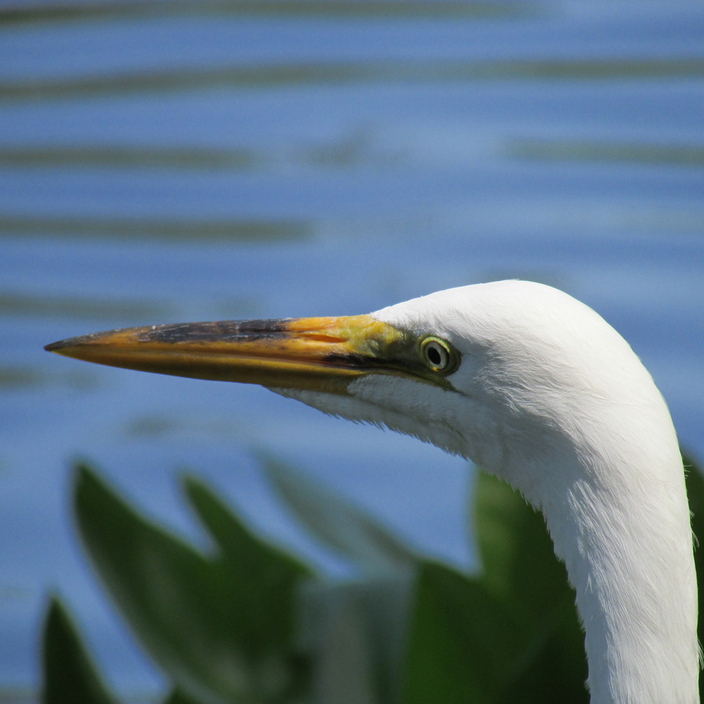 Great Egret 1500 5-16-2013 013.jpg