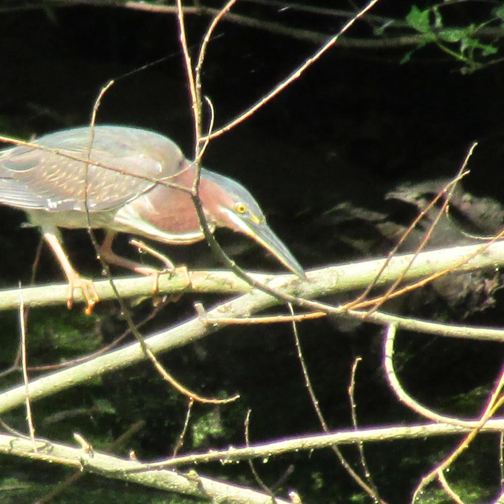 Green Heron 1500 195.jpg