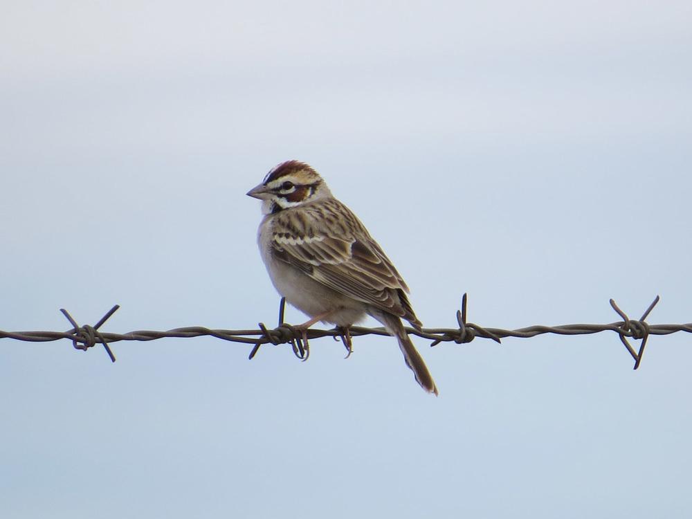 Lark Sparrow, Camp Verde, Arizona, April 29, 2016