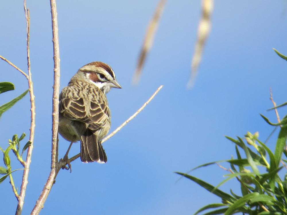Lark Sparrow 1500 4-29-2016 034.jpg