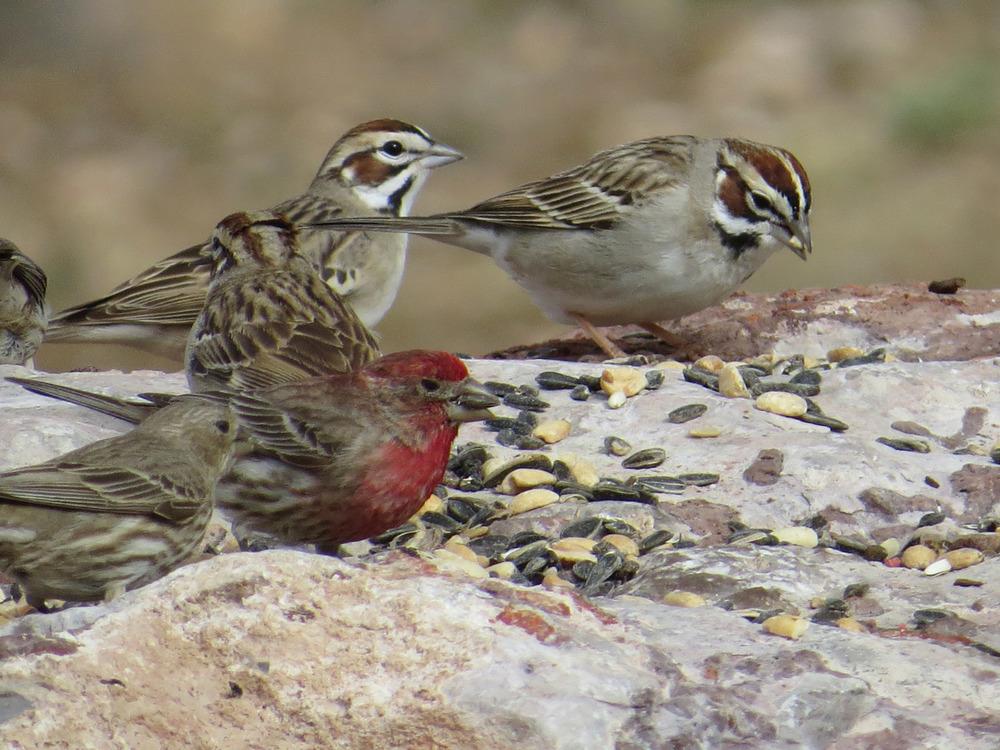 Lark Sparrow 1500 4-30-2016 249.jpg