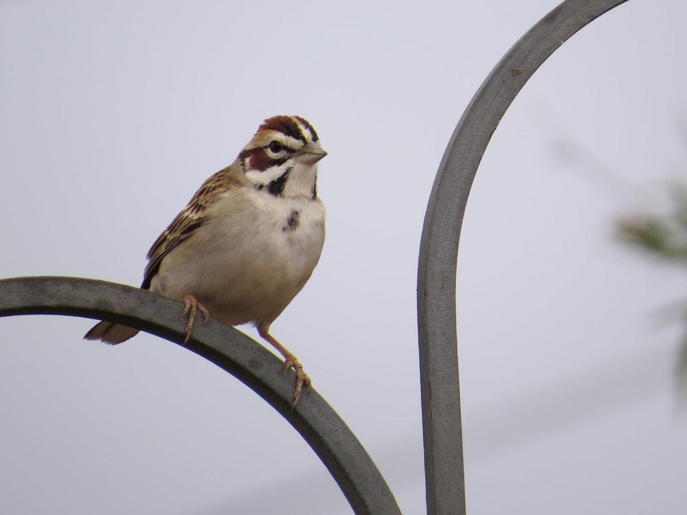 Lark Sparrow 4-30-2016 217.jpg