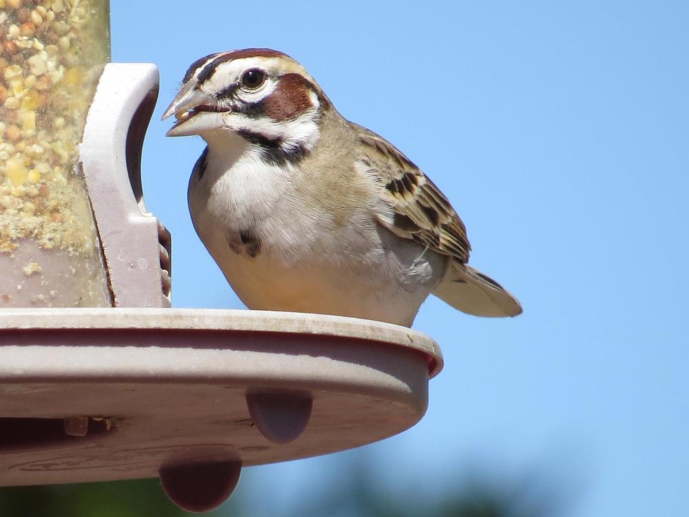 Lark Sparrow 1500 5-2-2016 761.jpg