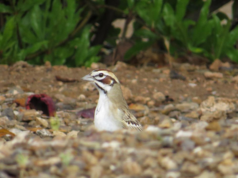 Lark Sparrow 5-1-2016 522.jpg