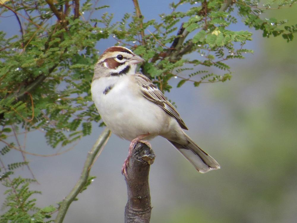 Lark Sparrow 5-1-2016 533.jpg