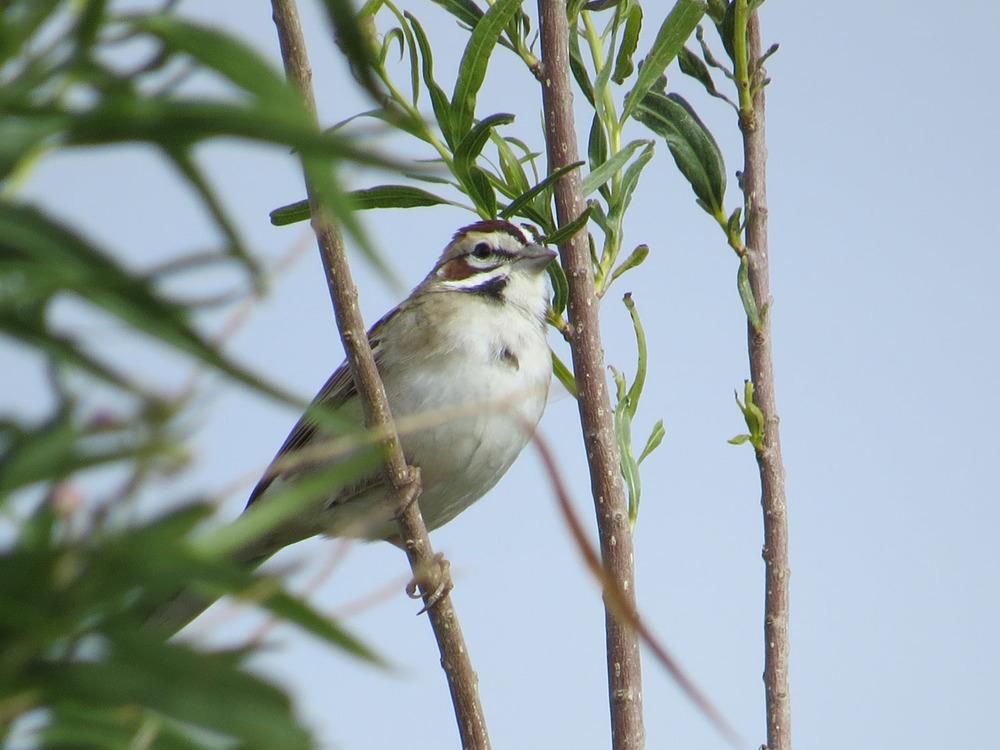 Lark Sparrow 1500 4-29-2016 027.jpg