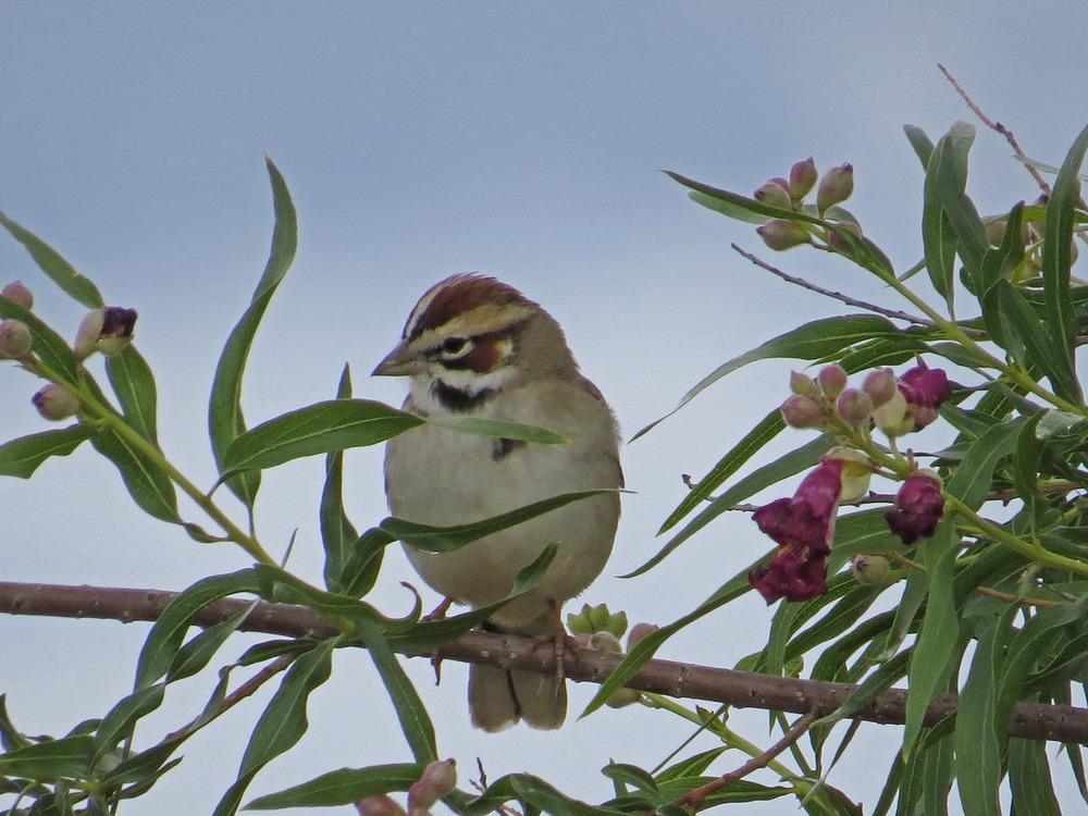 Lark Sparrow 1500 5-1-2016 495.jpg