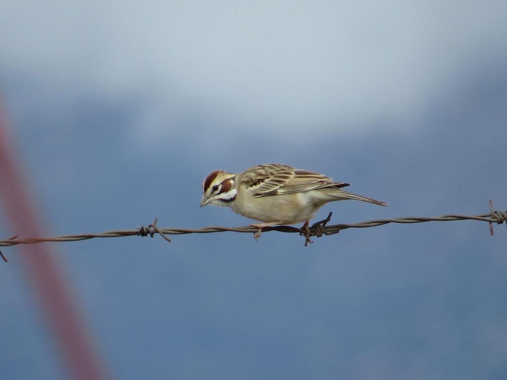 Lark Sparrow 1500 5-1-2016 548.jpg