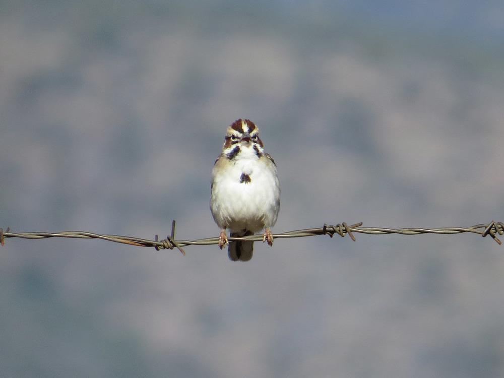 Lark Sparrow 1500 5-2-2016 710.jpg
