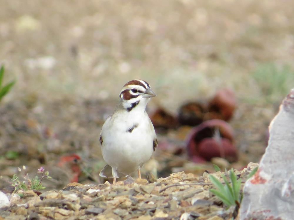 Lark Sparrow 1500 4-29-2016 023.jpg