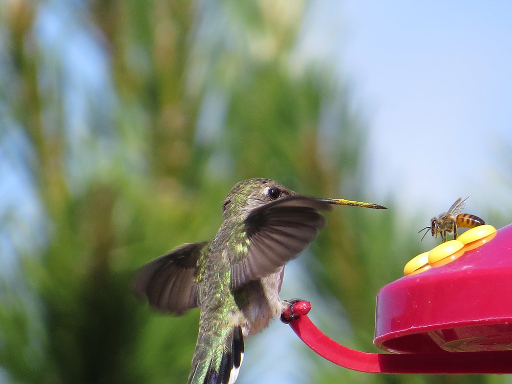 Female black-chinned hummingbird vs. bee, Camp Verde, Arizona, May 2, 2016