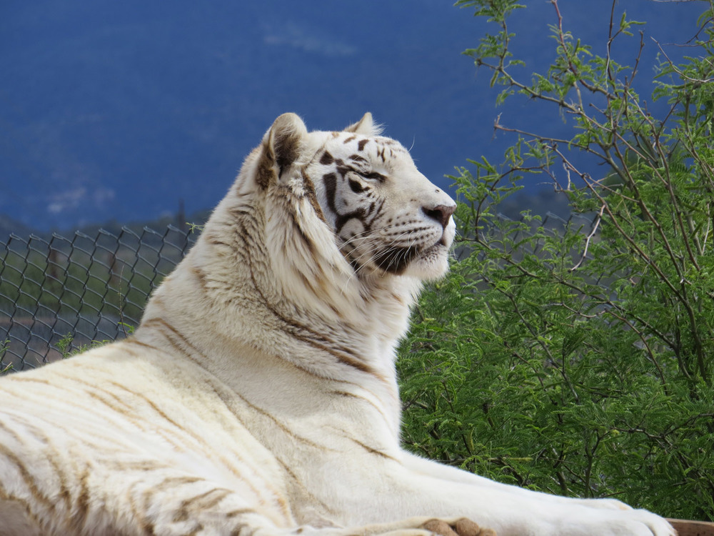 White tiger, Out of Africa Wildlife Park, April 30, 2016, Camp Verde, Arizona