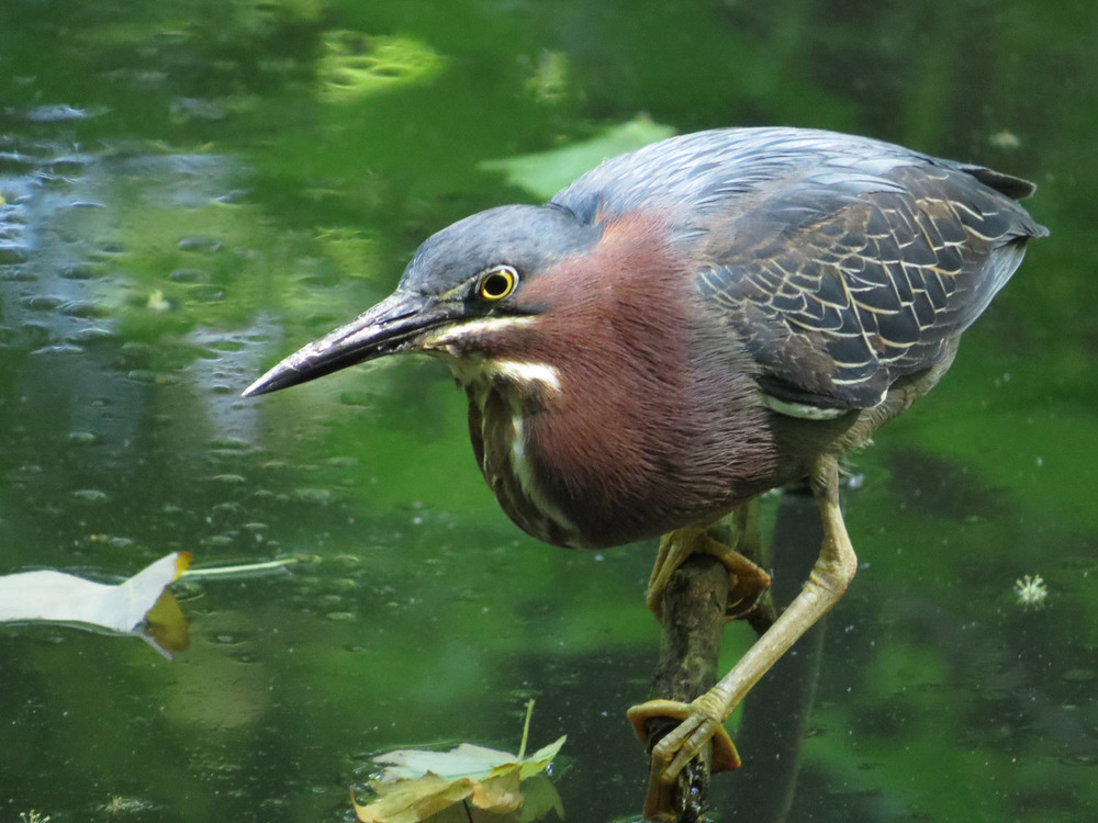 Green Heron 1500 6-17-2016 176.jpg