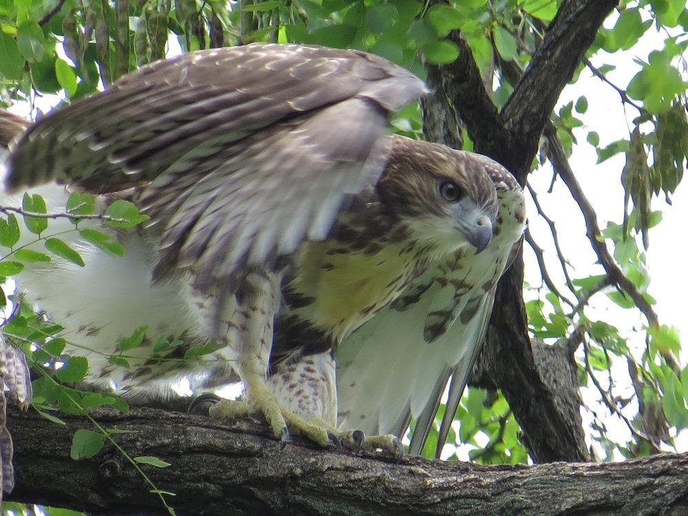 Tompkins Square Park fledgling, July 1, 2016.