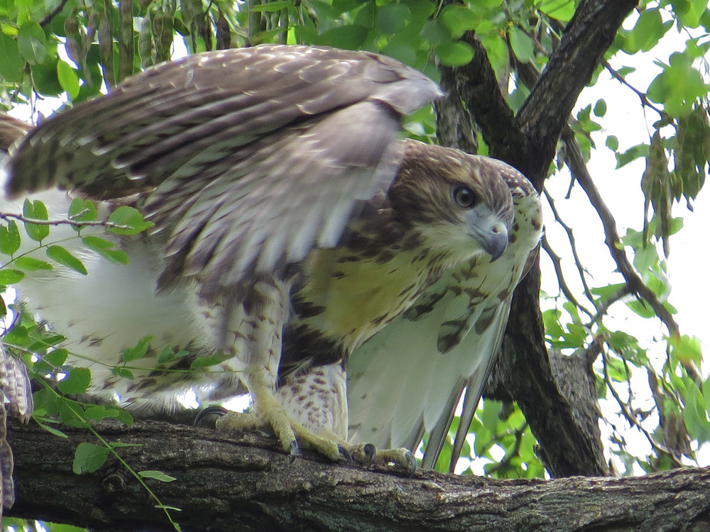 Tompkins Square Park fledgling, July 1, 2016 .