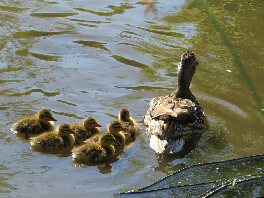 Ducklings 1500 7-5-2016 284.jpg