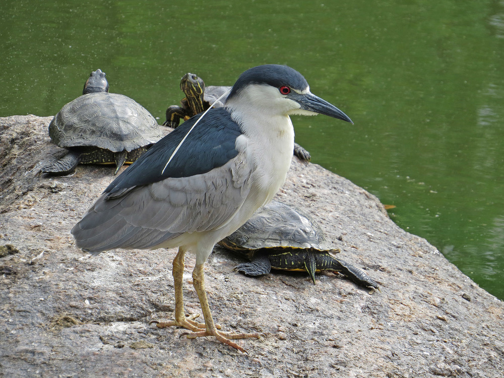 The turtles photo bomb a black-crowned night heron at the Pond, June 28, 2016.