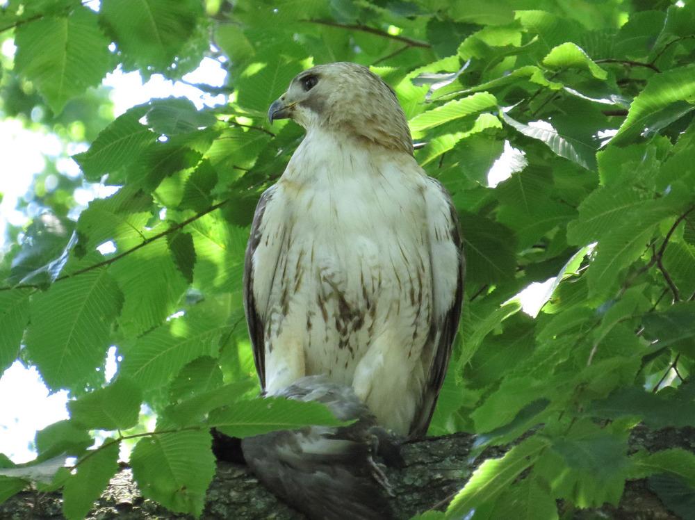 Pale Male 1500 6-30-2016 039P.jpg
