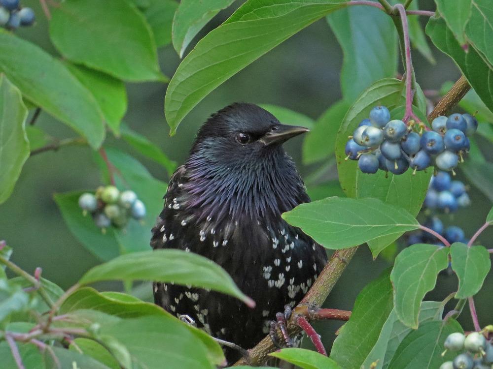 Starling 1500 8-2-2016 200P.jpg