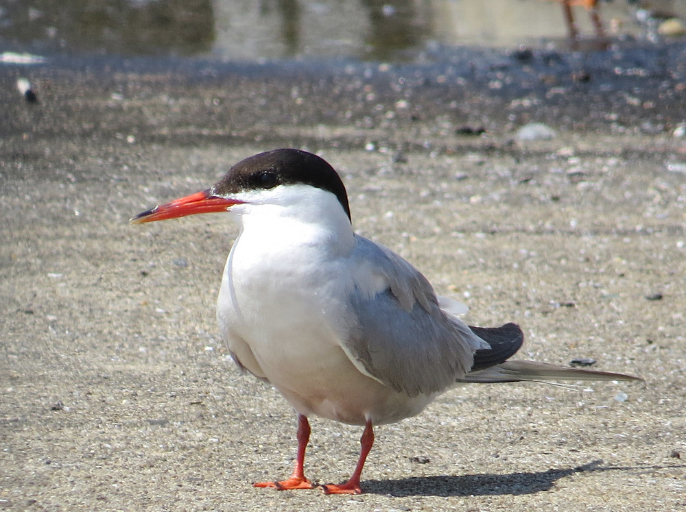 Common Terns 1500 7-17-2016 049.jpg