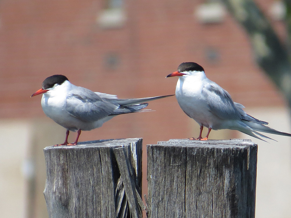 Common Terns 1500 7-17-2016 114.jpg