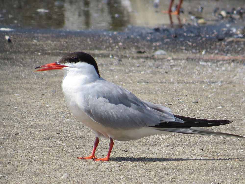Common Terns 1500 7-17-2016 048.jpg