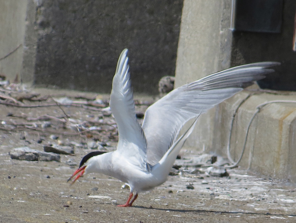Common Terns 1500 7-17-2016 097.jpg