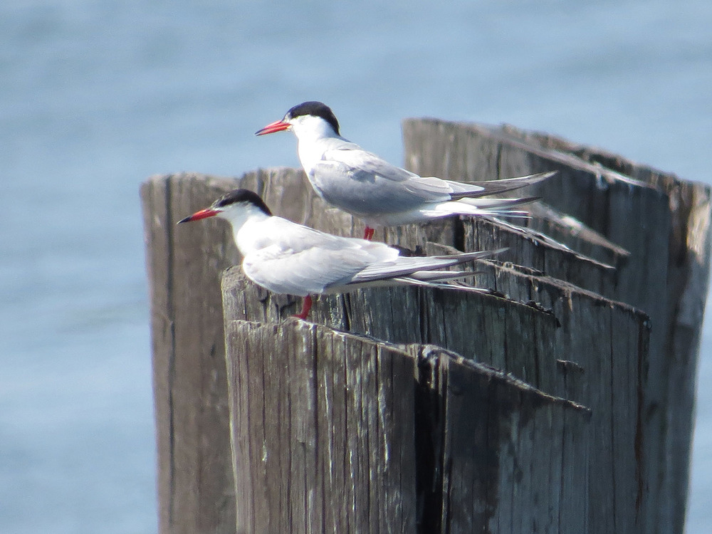 Common Terns 1500 7-17-2016 121.jpg