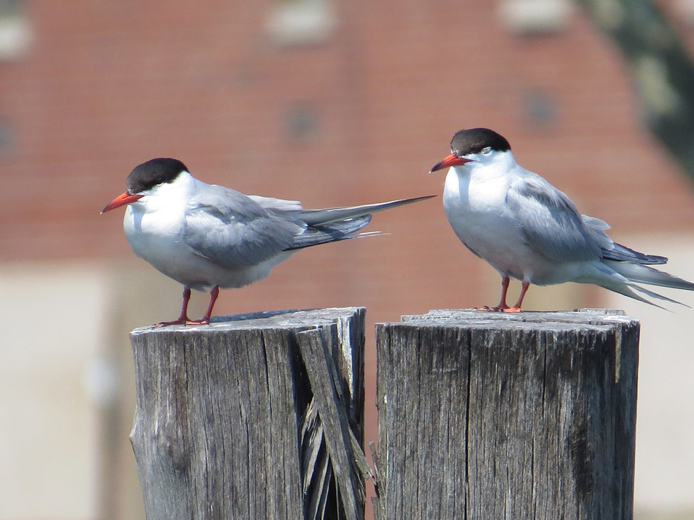 Common Terns 1500 7-17-2016 115.jpg