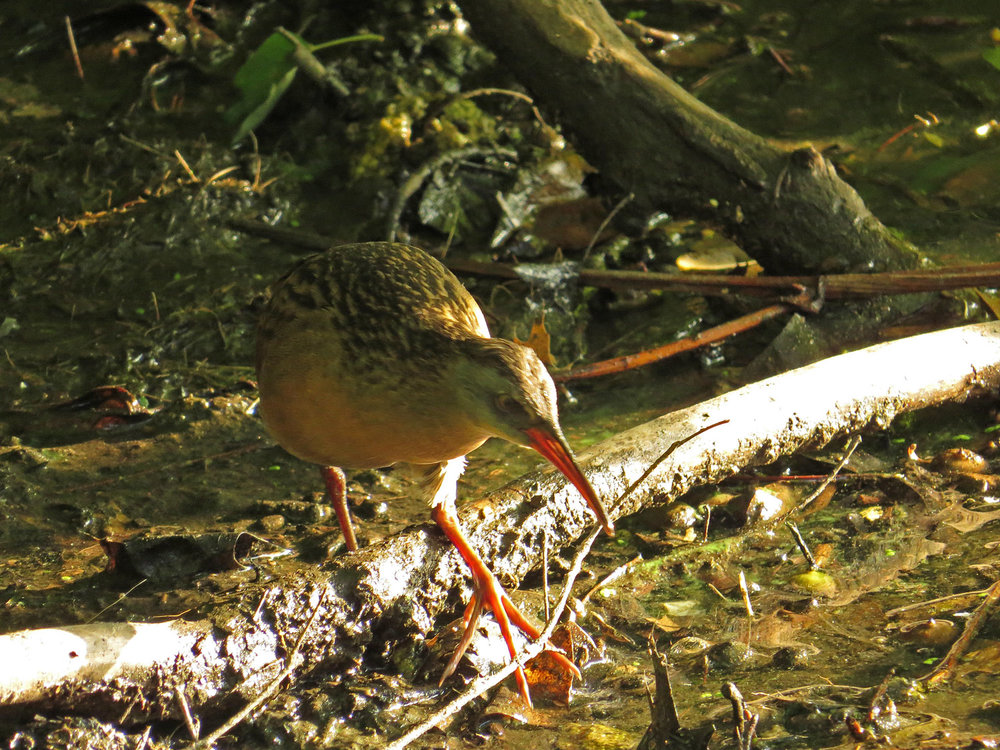A Virginia rail at the Lake, Central Park, Sept. 9, 2016.