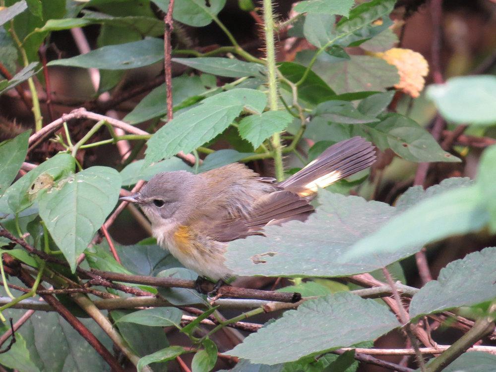 Redstart (American Redstart)